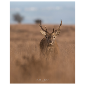 Red Deer Stag Print