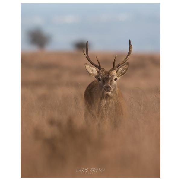 Red Deer Stag Print