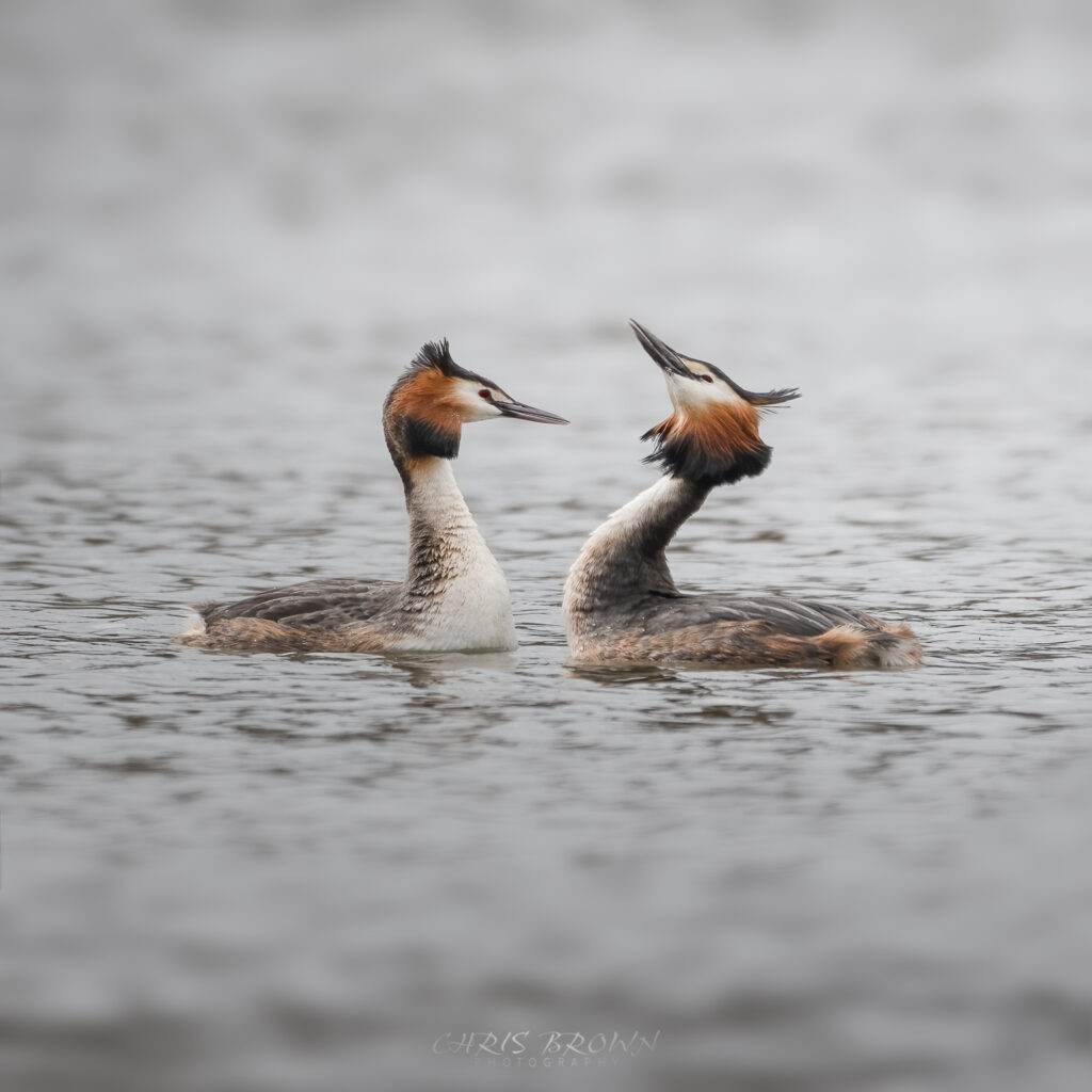 Image to show Great Crested Grebe courtship or mating